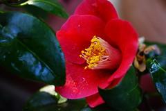Camellia after a little rain (Home & Happy) Tags: camellia rain drops