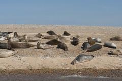 2018_Norfolk_BlakeneyPoint_Seals_2 (atkiteach) Tags: norfolk uk england blakeney blakeneypoint seal seals water sea seaside northsea
