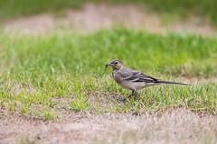 Pied Wagtail (Bob G2007) Tags: birds cambridgeshire europe greywagtail motacillacinerea mygarden places pymoor unitedkingdom