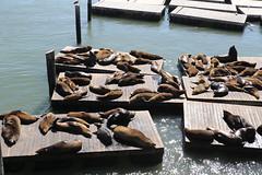 Sea Lions - Pier 39 (raffaele pagani) Tags: fishermanswharf sanfrancisco pier39 alcatraz leonimarini sealions otaria della californiazalophus californianuscaliforniausaunited statesattrazione turistica di san franciscosan francisco tourist attraction canon