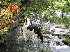 Thirsty work (Windless) Tags: cows water bamford mill trees drink