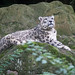 Snep on a rock
