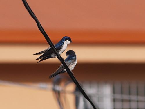 morning swallows
