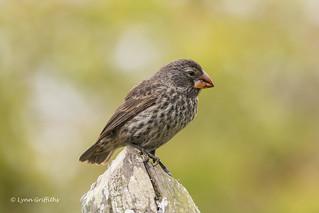 Medium Ground Finch - Female D85_1421.jpg