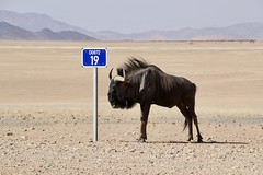 Namibia (galletti713) Tags: namibia sossusvlei dune desert sud africa gnu animali strada sterrato cartello rout sign road street stphotographia animal