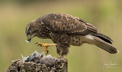 Common Buzzard (Ian howells wildlife photography) Tags: ianhowells ianhowellswildlifephotography nature naturephotography nationalgeographic canon canonuk birdofprey bird buzzard bbcspringwatch wildlife wildlifephotography wales wild wildbird raptor