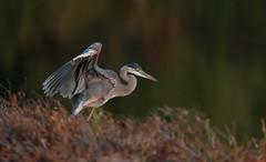 Great-blue Heron (mandokid1) Tags: canon 1dx ef600mm11 birds heron