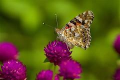 ヒメアカタテハ Painted lady (takapata) Tags: sony sel90m28g ilce7m2 macro nature flower butterfly insect