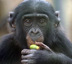 Bonobo Berlin Zoo JN6A6501 (j.a.kok) Tags: bonobo animal africa afrika aap ape mammal monkey mensaap primate primaat zoogdier dier berlijn panpaniscus berlijnzoo berlinzoo