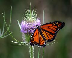 Toe-tickler (Portraying Life, LLC) Tags: dbg6 da3004 hd14tc k1mkii michigan pentax ricoh unitedstates butterfly closecrop handheld nativelighting deanroad meadow flower teasel