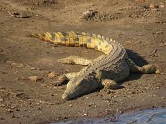 Crocodile / Krokodil (Pixi2011) Tags: crocodiles krugernationalpark africa nature animals reptile