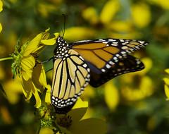 MonarchButterfly_SAF6789 (sara97) Tags: danausplexippus butterfly copyright©2018saraannefinke endangered missouri monarch monarchbutterfly nature photobysaraannefinke pollinator saintlouis towergrovepark