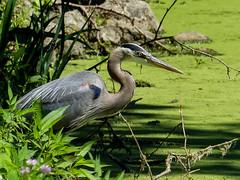 Great Blue Heron (J Wells S) Tags: greatblueheron heron bird algae nature lake sharonwoodspark sharonville cincinnati ohio rocks plants hamiltoncountyparks greatparksofhamiltoncounty