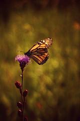 Monarch on Blazing Star (Dave Linscheid) Tags: flower wildflower summer butterfly texture textured flowerbud pink jenispark odin watonwancounty mn minnesota usa