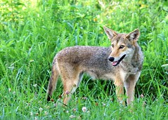 curious but wary (hennessy.barb) Tags: coyote easterncoyote mammal predator gsmnp cadescove curious