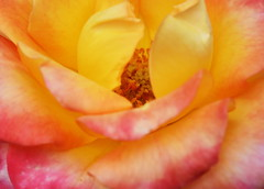 DSC_0956 (PeaTJay) Tags: nikond750 sigma reading lowerearley berkshire macro micro closeups gardens outdoors nature flora fauna plants flowers rose roses rosebuds
