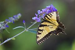 eastern tiger on butterfly bush (G_Anderson) Tags: butterfly garden flowers backyard