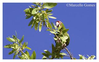 Mitred Parakeet (Psittacara mitratus) MIPA - Mixed in a flock of 36+ Nanday Parakeets