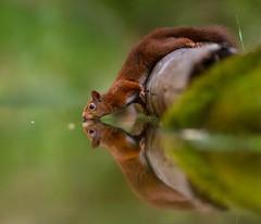 Imagine.. doing downward dog on water 😊 #reflection #squirrel #wildlife #zen (nusainda) Tags: reflection squirrel wildlife zen