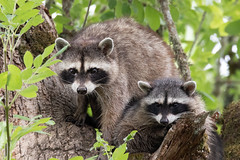 Here She Comes (dennis_plank_nature_photography) Tags: avianphotography ridgefieldnwr birdphotography naturephotography raccoons ridgefield wa avian birds nature