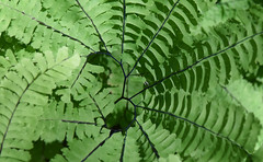 Wild fern (maytag97) Tags: maytag97 nikon d750 fern green outdoor outside nature natural sunlit sunlight leaf pattern ferns background foliage plant forest environment botany closeup beauty texture summer spring light growth stem wilderness frond beautiful color macro tree