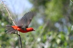 Scarlet Tanger (johnsopa@sbcglobal.net) Tags: nature scarlettanger tanger bird red