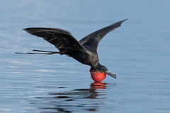 Flotation Device (PeterBrannon) Tags: bird florida fregatamagnificens magnificentfrigatebird nature tampa wildlife flight throatpouch