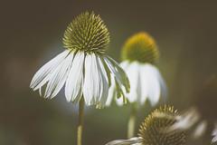 (michel1276) Tags: flower flowers blume macro makro olympus zuikomacro9020 vintagelens manualfocus oldlens bokeh