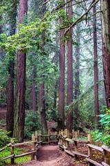 When I Pretend to Fall (Thomas Hawk) Tags: america california eastbay joaquinmillerpark oakland oaklandhills usa unitedstates unitedstatesofamerica redwood redwoodtree tree us fav10 fav25 fav50 fav100