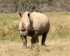 White rhino moves in (Nagarjun) Tags: lakenakurunationalpark kenya eastafrica wildlife bigfive whiterhino whiterhinoceros southernwhiterhinoceros ceratotheriumsimumsimum safari gamedrive herbivore biggame