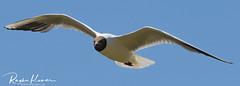 Wildlife at Leeds Castle, England (rvk82) Tags: 2018 birds england july july2018 kent nikkor200500mm nikon nikond850 rvk rvkphotography raghukumar raghukumarphotography wildlife rvkonlinecom rvkphotographycom rvkphotographynet broomfield unitedkingdom gb