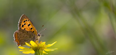Small copper (Jongejan) Tags: smallcopper kleinevuurvlinder butterfly insect animal nature wildlife outdoor macro closeup flower outside countryside