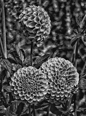 Three's a party! 😊 (LeanneHall3 :-)) Tags: blackandwhite mono dahlias petals bokeh closeup closeupphotography flowers flowersarefabulous flowerarebeautiful flowerflowerflower macrophotography macrounlimited macro canon 1300d