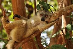 IMG_0434 Wanna join me? (Kalina1966) Tags: madagascar animals lemur specanimal coth coth5 ngc npc naturethroughthelens
