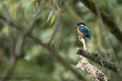 Kingfisher (Matt Hazleton) Tags: kingfisher alcedoatthis bird wildlife nature animal outdoor canon canoneos7dmk2 canon100400mm eos 7dmk2 100400mm matthazleton matthazphoto
