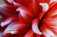 dahlia-dahlie-makro (elmar theurer) Tags: blumen flower nature natur flora yellow gelb iris makro blüten blüte farben colors blume hell abstrakt abstract art kunst interstellar dahlia dahlie rot red plakativ poster woman power