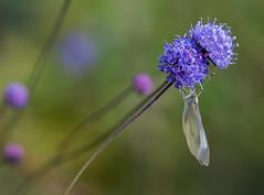 Papillon de jour (nantes201344 et JeanL) Tags: nantes bretagne nature macro papillon fleur parc jardin