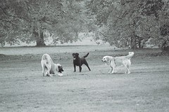 Trio (ano_voula) Tags: dogs playing nature park bw analog
