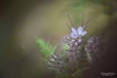 Phacélie - Phacelia (Solange B) Tags: fleur flower phacélie phacelia engrais fertilizer naturel naturaljardin garden potager kitchengarden biologique biological macro nikon d800 solangeb solangebelon