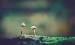 In dialogue (Ingeborg Ruyken) Tags: dropbox autumn mushroom fungi fall vughterheide herfst ochtend morning instagram forest fungus bosfilmpje 500pxs natuurfotografie flickr paddenstoel bos vught