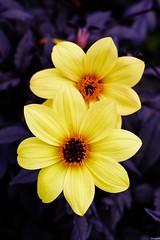 Dahlia knockout (Photography Christophe.H) Tags: dahlia knockout fleur flower exterieur été art reflex canon 50mm