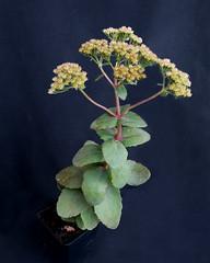 Hylotelephium telephium subsp. ruprechtii 'Hab Gray' (Nessy apprentie en rangement) Tags: sedum succulent hylotelephium crassulaceae agl