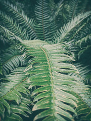 fern (annapolis_rose) Tags: fern plant campus ubc green vancouver