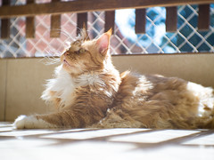 Lelinho, the cat (igor.ribeirox96) Tags: cat maine coon cuttie mft lumix g7 fujian 35 panasonic headquarters quartel micro 43 plants plant forest são paulo sp jundiai christ cristo car people man sushi temaki hot roll japanese japan oriental culture style g9 gh4 gh5 gh5s church planta arquitetura edificio predio avenida paulista gato
