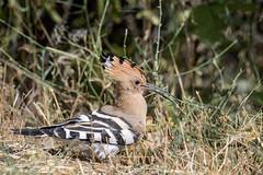 Abubilla (Upupa epops) (pedro_morenofernandez) Tags: abubilla aupupaepops birds aves pajaros bucerotiformes nationalgeographic nikond500 nikonistasespaña animal árbol pájaro hierba