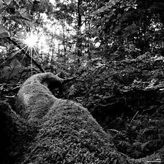 L'arbre couché (Un jour en France) Tags: monochrome forêt arbre noiretblanc noiretblancfrance