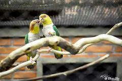 Beijo dos pássaros (Thiago Alex - Photomaker) Tags: brasil curitibapr paraná aves pássaros pássaro animal bird canon canon7d photomaker