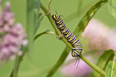 monarch caterpillars (G_Anderson) Tags: butterfly garden flowers backyard