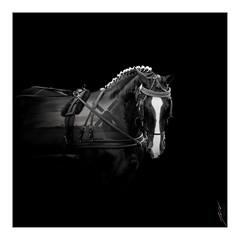 (J.v.V.) Tags: art horse doubleexposure blackwhite black white olympus mzuiko1240mmf28 penf