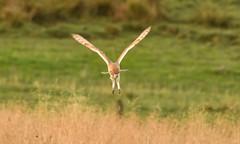 Ready to pounce (Andrew-Jackson) Tags: yorkshire owl birds hunter